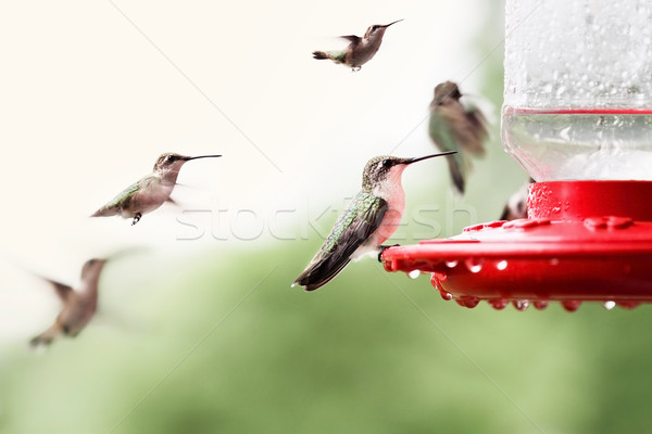 красивой женщины рубин hummingbird многие другой Сток-фото © StephanieFrey