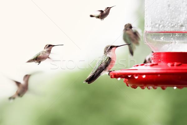 Ruby-Throated Hummingbirds Stock photo © StephanieFrey