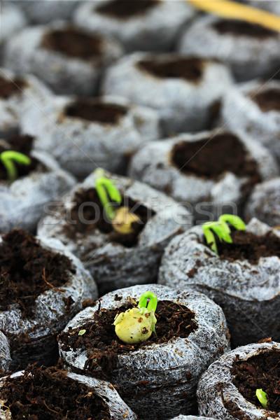 Fidan büyümüş bezelye sebze büyüyen aşırı Stok fotoğraf © StephanieFrey