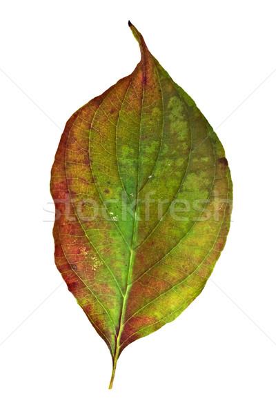 Dogwood Leaf Stock photo © StephanieFrey