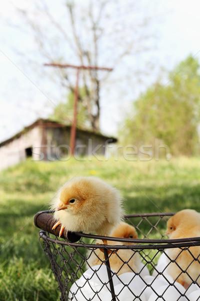 Kicsi ül felső kosárnyi tojás tyúk Stock fotó © StephanieFrey