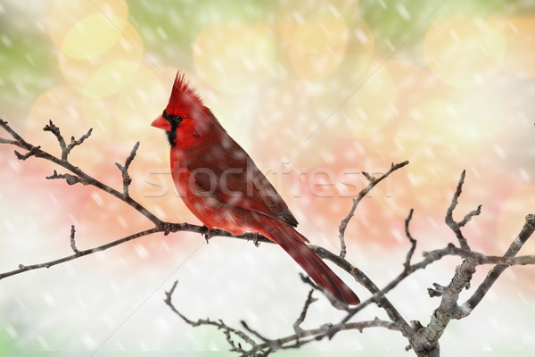 Male Cardinal in Snow Stock photo © StephanieFrey
