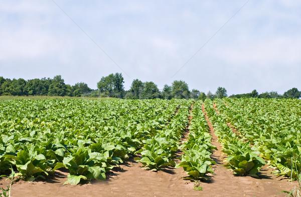 Tobacco Field Stock photo © StephanieFrey