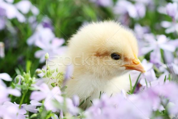 Chick in Flowers Stock photo © StephanieFrey