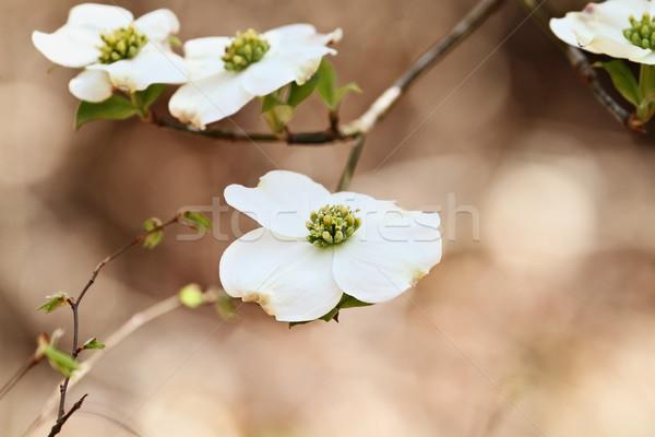 Beautiful White flowering dogwood blossoms Stock photo © StephanieFrey