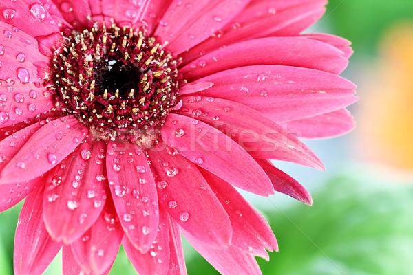 Сток-фото: Daisy · розовый · макроса · капли · воды · лепестков · Extreme