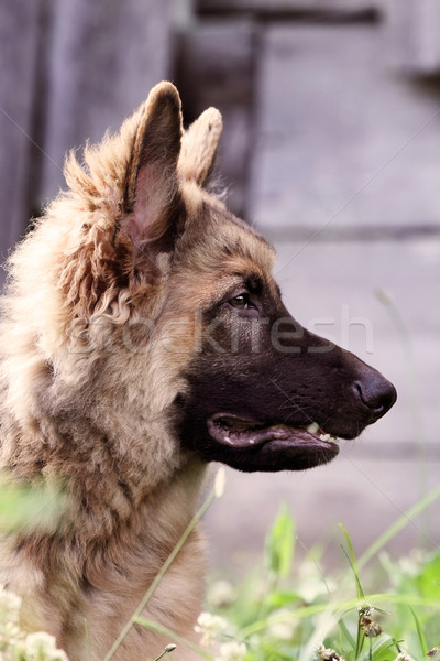 German Shepherd Dog Profile Stock photo © StephanieFrey