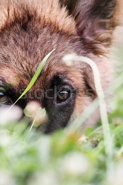 Bashful German Shepherd Dog Stock photo © StephanieFrey