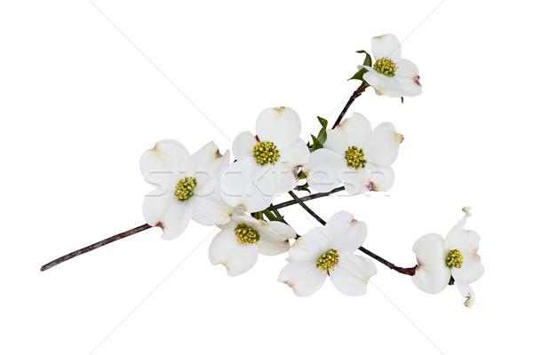 изолированный белый цветения дерево филиала Сток-фото © StephanieFrey