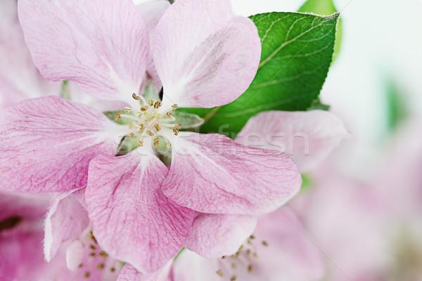 Blossom Closeup Stock photo © StephanieFrey