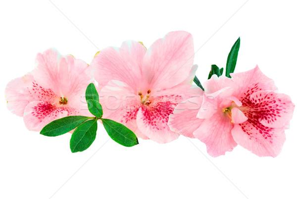 Azalea macro heldere roze geïsoleerd witte Stockfoto © StephanieFrey