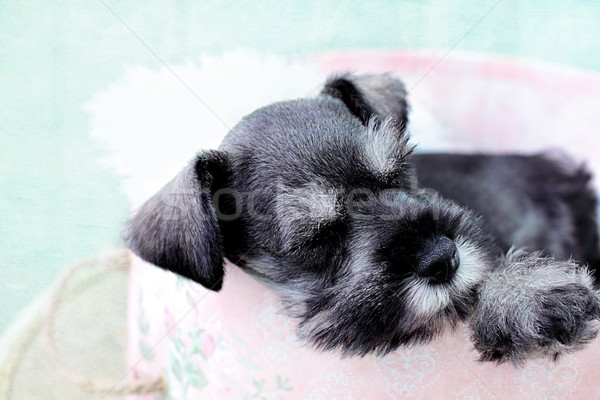 Sleeping Mini Schnauzer Stock photo © StephanieFrey