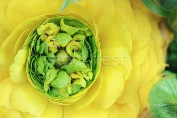 Yellow Ranunculus Stock photo © StephanieFrey