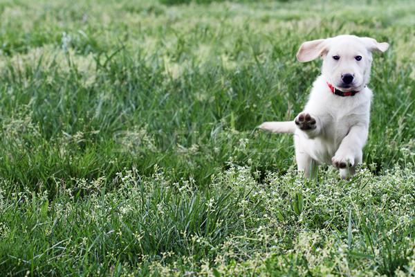 English Cream Labrador Retriever - Golden Retriever Stock photo © StephanieFrey