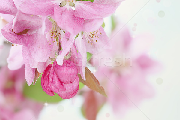 Pink Spring Tree Blossoms Stock photo © StephanieFrey