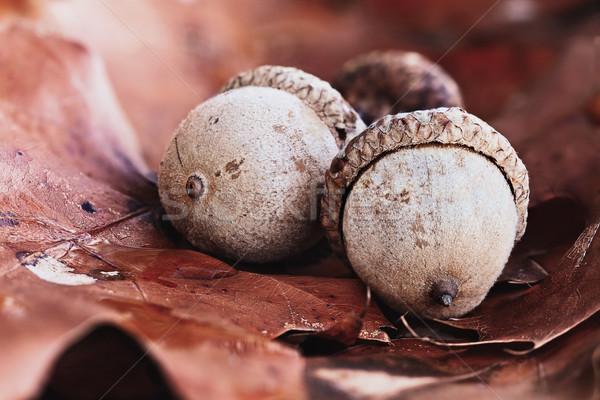 Trzy jesienią dąb pozostawia makro ziemi Zdjęcia stock © StephanieFrey