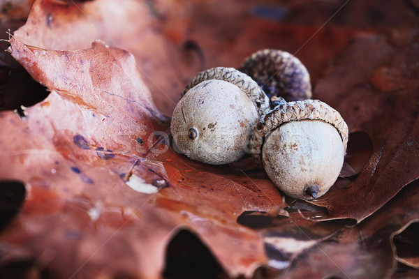 Three Acorns with Autumn Oak Leaves Stock photo © StephanieFrey