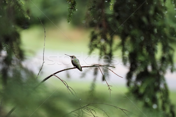 Ruby-Throated Hummingbird Stock photo © StephanieFrey