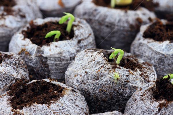 Emerging Seedlings Stock photo © StephanieFrey