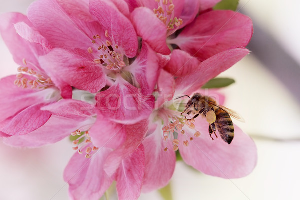 Abeille couvert pollen fleurs printemps nature Photo stock © StephanieFrey