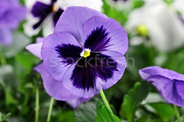 Purple Pansies Stock photo © StephanieFrey