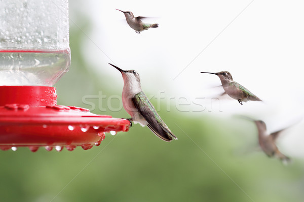 Ruby-Throated Hummingbird Sitting at Feeder Stock photo © StephanieFrey