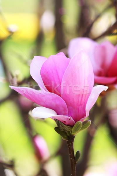 магнолия Японский дерево Blossom Extreme мелкий Сток-фото © StephanieFrey