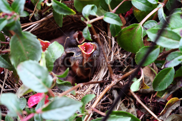 Bebê pardal ninho recém-nascido para cima boca aberta Foto stock © StephanieFrey