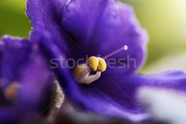 African Violet Macro Stock photo © StephanieFrey