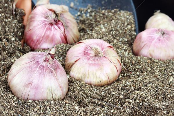 Flower Bulbs and Potting Soil Stock photo © StephanieFrey