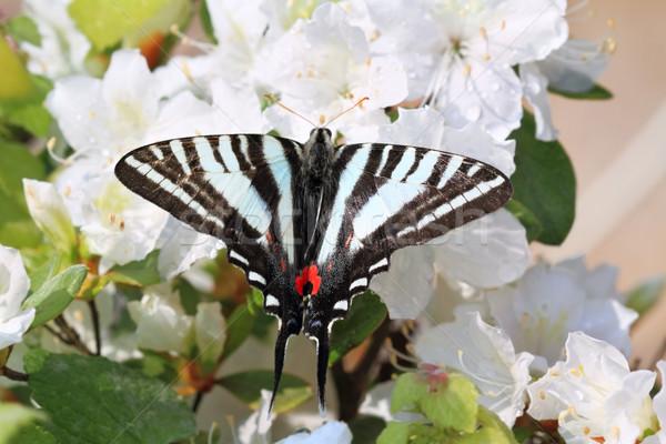 Zebra Swallowtail Stock photo © StephanieFrey