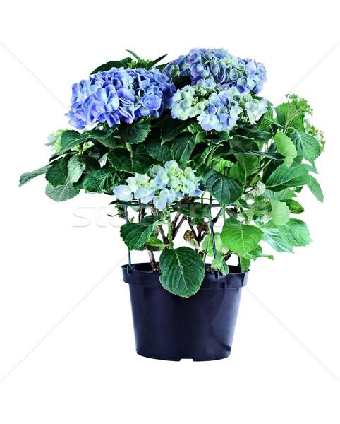 Blue Hydrangea Stock photo © StephanieFrey