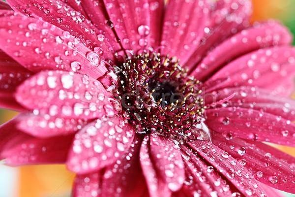 Stok fotoğraf: ıslak · pembe · papatya · makro · yaprakları
