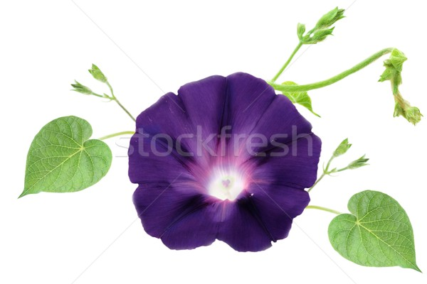 Morning Glory  Stock photo © StephanieFrey