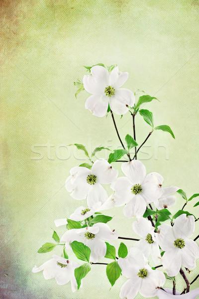 Dogwood Blossoms Stock photo © StephanieFrey