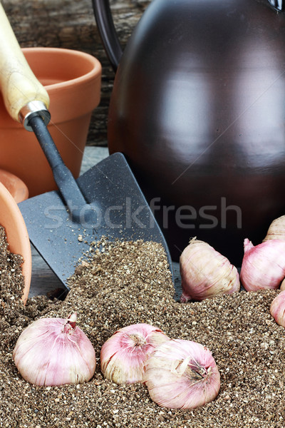 Planting Flower Bulbs Stock photo © StephanieFrey