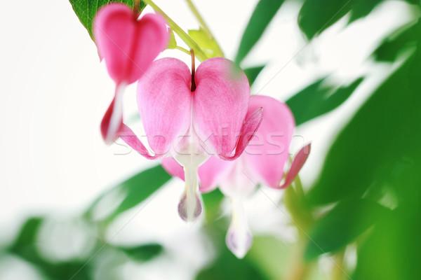 Stok fotoğraf: Kanama · kalp · sığ · alan · seçici · odak