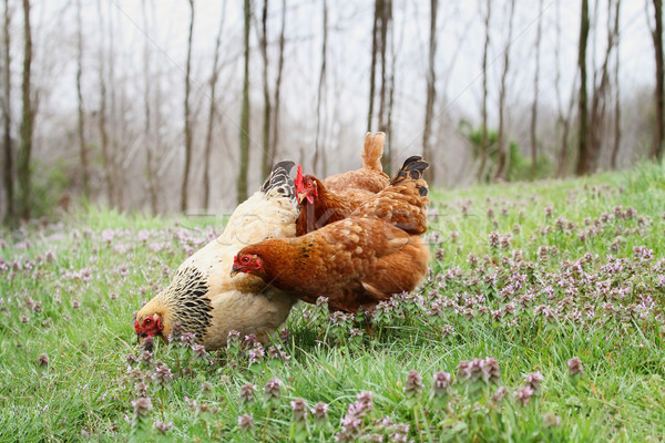 Free range organic chickens in springtime Stock photo © StephanieFrey