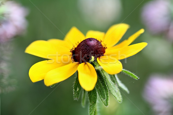 Black Eyed Susan Stock photo © StephanieFrey