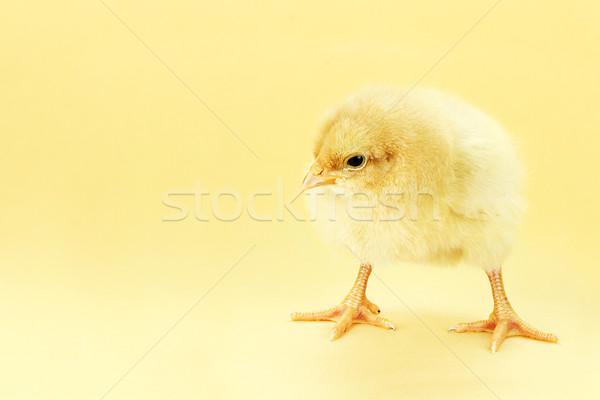 Chick amarillo pequeño habitación espacio de la copia edificio Foto stock © StephanieFrey