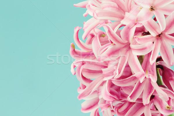 Roze hyacint mooie macro Blauw exemplaar ruimte Stockfoto © StephanieFrey