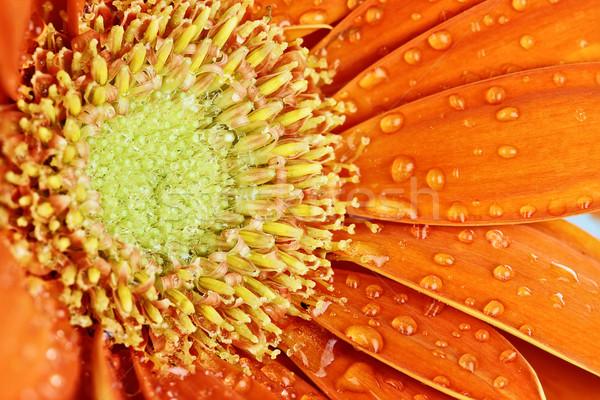 Сток-фото: оранжевый · Daisy · аннотация · макроса · капли · воды · лепестков