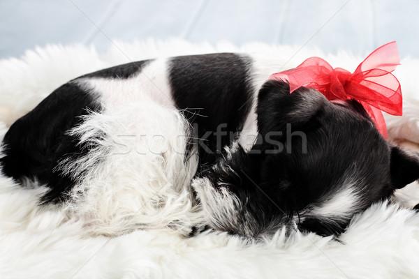 Schlafen Farbe Miniatur Schnauzer neun Woche Stock foto © StephanieFrey