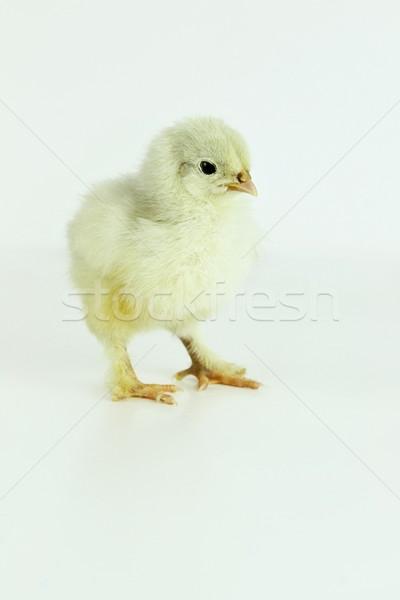 мало куриного только куриные животные Сток-фото © StephanieFrey