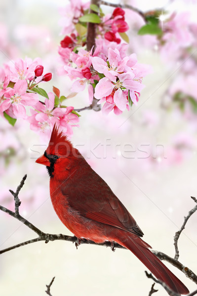 Cardinal Amid Spring Tree Blossoms Stock photo © StephanieFrey