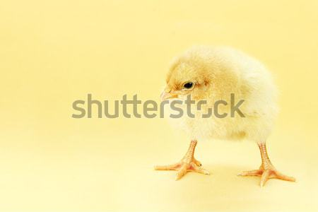 Chick aislado blanco pollo animales solo Foto stock © StephanieFrey
