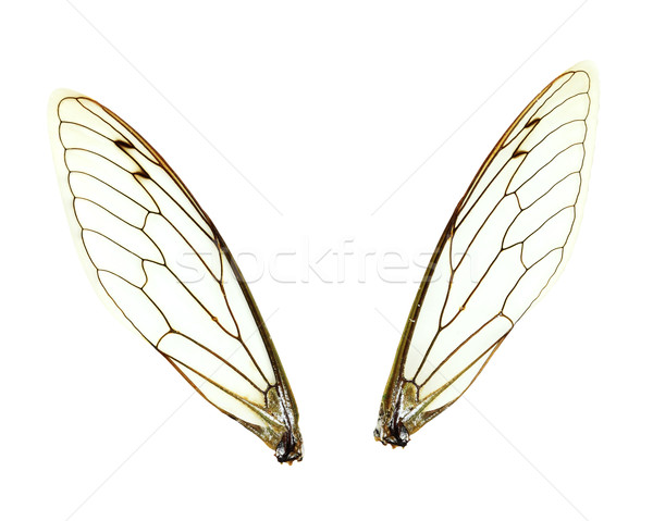 Isolated Cicada (Jar FLy) Wings Stock photo © StephanieFrey