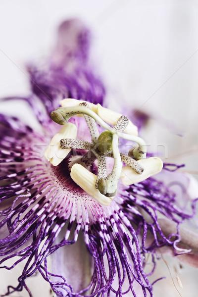 Passion Flower Stock photo © StephanieFrey