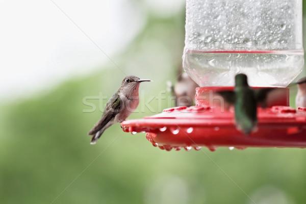 женщины hummingbird красивой рубин другой вокруг Сток-фото © StephanieFrey