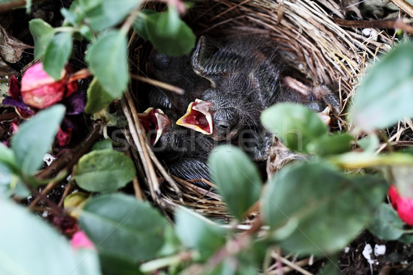 Baby Sparrows in a Nest Stock photo © StephanieFrey